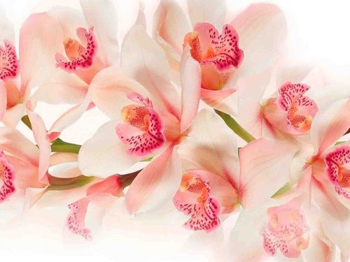 Стеновая панель (Скинали) для кухни - Орхидея 1
