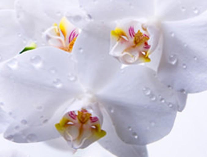 Стеновая панель (Скинали) для кухни - Орхидея 4